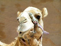 Camel. Jordanian camel with a funny face as if waiting for a kiss on a background of beige rocks Stock Images