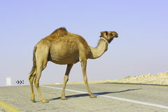 Camel in Judean desert Royalty Free Stock Photography