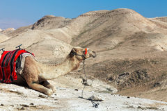 Camel in Judean desert,Israel stock images