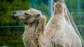 Camel. In the Karelia zoo Stock Photos