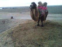 Kazakh camel royalty free stock photo