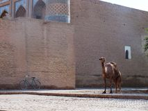 Camel in Khiva. Uzbekistan on the silk road Royalty Free Stock Image