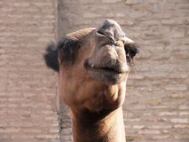 Camel in Khiva Royalty Free Stock Photo