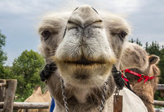 Camel kiss Stock Photo