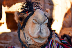 Camel Kiss. A camel posing for the camera in Petra, Jordan royalty free stock images