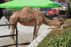 Camel at LA County Fair. Pomona, California, USA - September 15, 2014: Camel is eating grass beside the stall at LA County Fair Stock Images