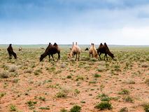 Camel in the landscape of Gobi Desert in Mongolia. At sunset Stock Photo
