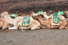 Camel in Lanzarote Royalty Free Stock Photos