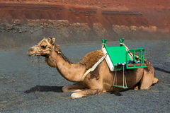 Camel in Lanzarote in timanfaya fire mountains Stock Photos