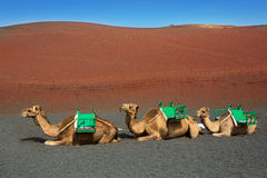 Camel in Lanzarote in timanfaya fire mountains Royalty Free Stock Photos