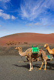 Camel in Lanzarote in timanfaya fire mountains Royalty Free Stock Image