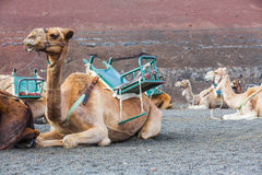 Camel in lanzarote in timanfaya ... Stock Image