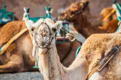 Camel in lanzarote in timanfaya ... Stock Photography