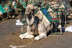 Camel in Lanzarote in timanfaya Stock Photos