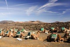 Camel in Lanzarote in timanfaya Stock Images