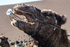 Camel in Lanzarote in timanfaya Royalty Free Stock Photos