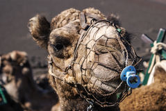 Camel in Lanzarote in timanfaya Stock Photography