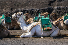 Camel in Lanzarote in timanfaya Stock Photo