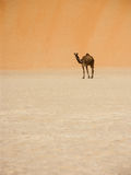 Camel and large dune. Camel standing under a large dune royalty free stock images