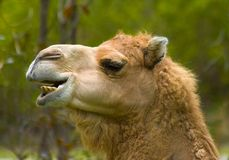 Camel Laughing. At the zoo Royalty Free Stock Photos