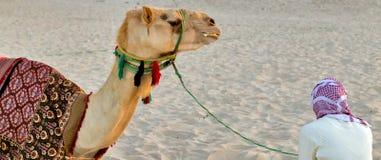 Camel lay Royalty Free Stock Image