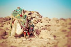 Camel lay with traditional Bedouin saddle in Egypt. Selective Focus royalty free stock photography