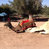 Camel. Laying down in Africa Stock Images