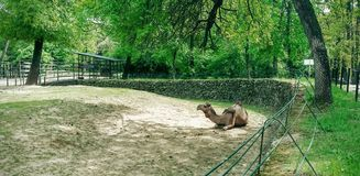 Camel. Laying camel in the zoo Stock Image