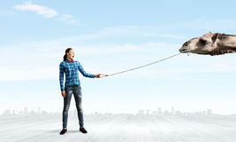 Camel on lead. Young woman in casual holding camel on lead Stock Photos