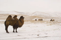 Camel leader near his herd. On plateau Ush-Konyr Royalty Free Stock Image