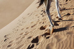 Camel legs walking in sand. Royalty Free Stock Photography