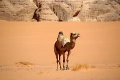 Camel in Libyan desert Stock Images