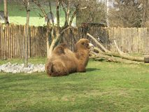Camel on grass at the zoo. Camel lies on grass at the zoo on a spring day royalty free stock photo