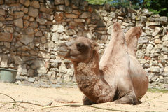 Camel lies on sand Royalty Free Stock Images