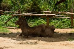 The camel lies in the shade under the awning in the zoo Stock Photos