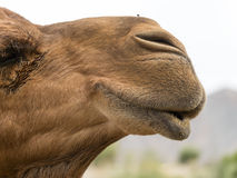 Camel and a little friend Royalty Free Stock Images
