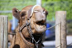 Camel lives in the zoo Royalty Free Stock Photography
