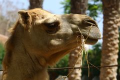 Camel lives in the zoo Royalty Free Stock Images