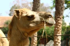 Camel lives in the zoo Stock Image