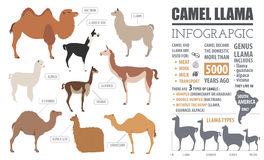 Camel, llama, guanaco, alpaca  breeds infographic template Royalty Free Stock Photo