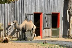 Camel in the London Zoo. African camel in the London zoo stock photos