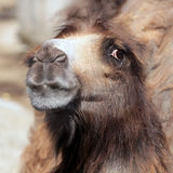 Camel is looking. Into camera in moscower zoo Stock Photos