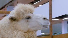 Camel looking around. Close up shot of camel head looking around at agricultural exhibition. Farming, agriculture industry and animal husbandry conceptpt stock footage