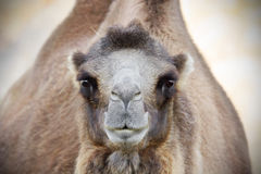 Camel looking at camera Stock Photos