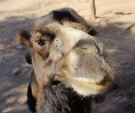 Camel. Looking closely Royalty Free Stock Photos