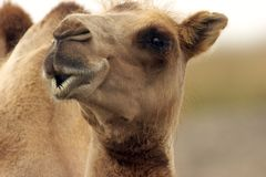 Camel looking eye to eye with you Stock Photos