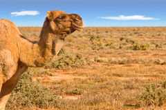 Camel looking over desert Royalty Free Stock Images