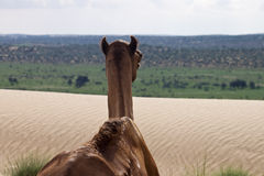 Camel looking to a desert Stock Image