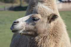 Camel looking to the left Royalty Free Stock Photo