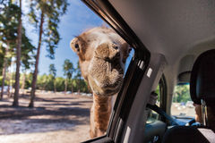 A camel looking in the window Stock Photo
